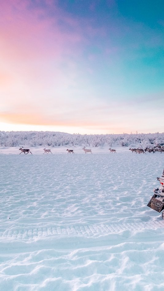 Reindeer running through the Arctic Tundra in Finnmark, Norway at sunset.
