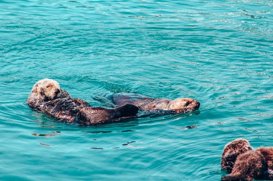 Otters in the harbor in Morro Bay, California