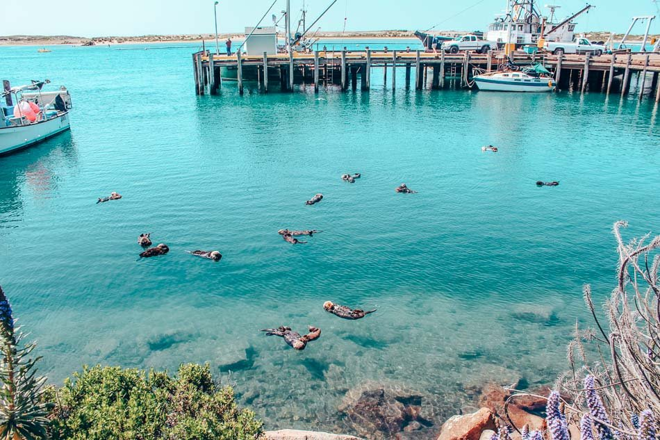 Otter pups in the harbor at Morro Bay, California.