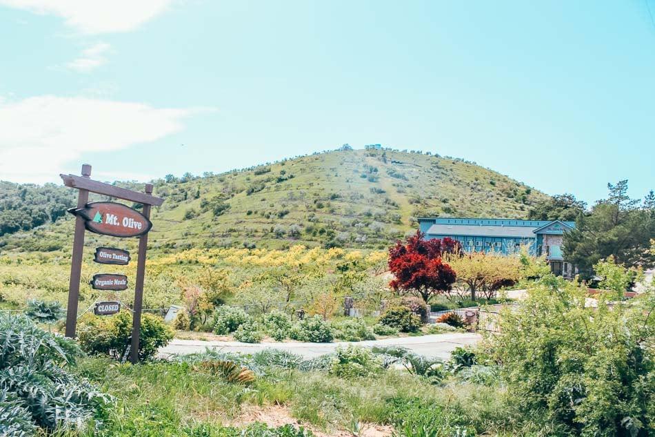 Mount Olive Oil Farm in Paso Robles on the California Central Coast
