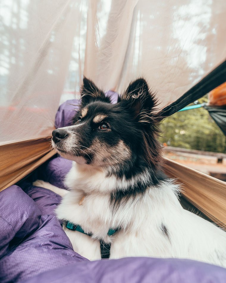 Puppy in a hammock camping in Northern California.