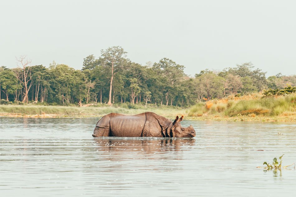 Rhinoceros slowly swiming past in the river outside of Chitwan National Park,. Nepal.