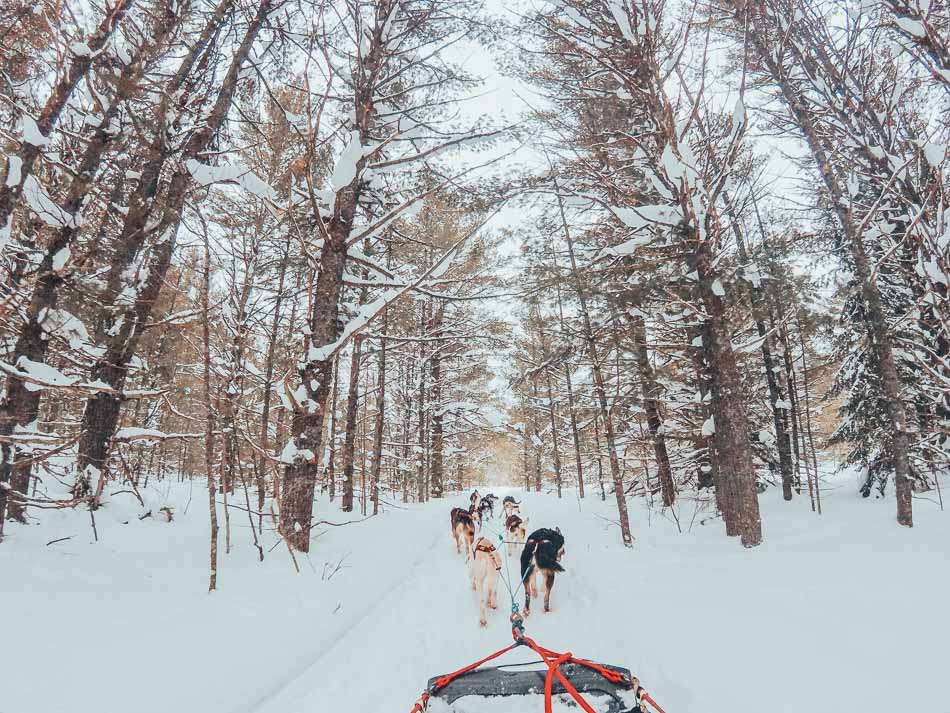 Dog sledding in the snowy forest in Jackson Hole in the winter.