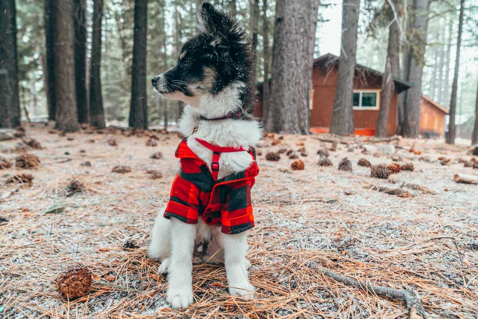 Puppy in plaid jacket in Lake Tahoe, California