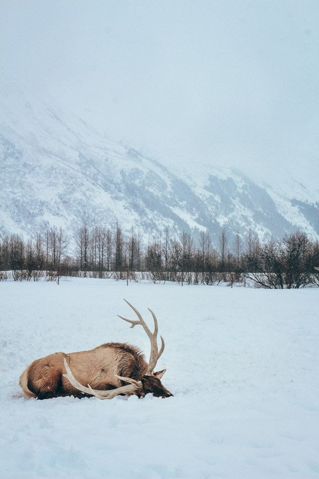 An elk resting on the snow in Jackson Hole, WY.