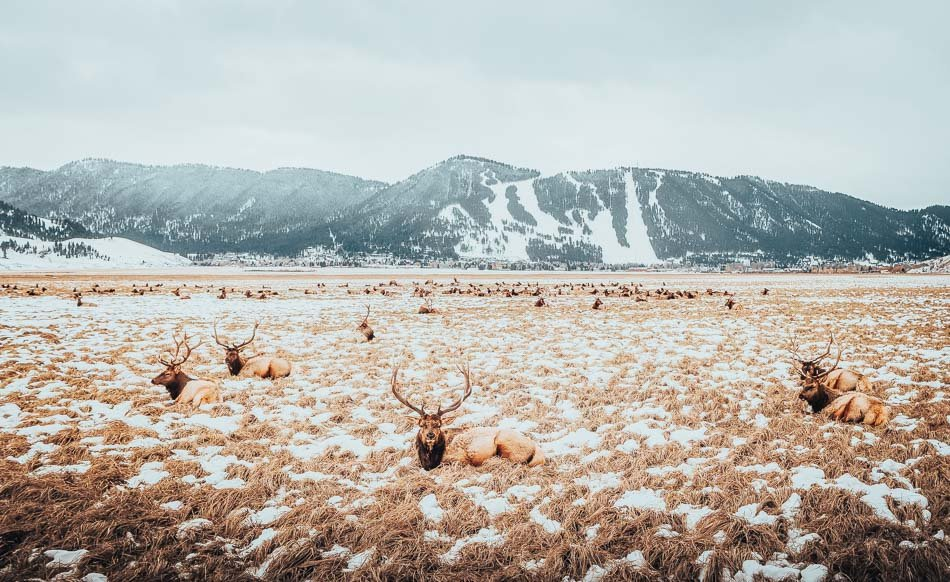 A heard of elk relaxing at the National Elk Refuge in Jackson Hole, WY.