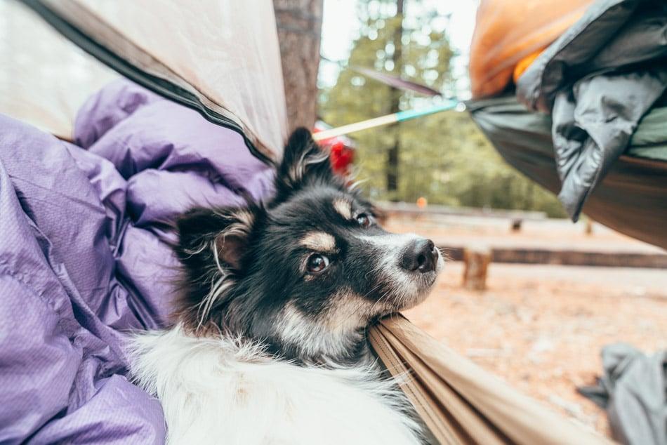Dog in a hammock on camping trip