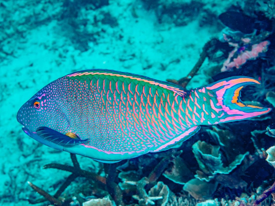 A close up of a colorful fish in the ocean in Key West, Florida.