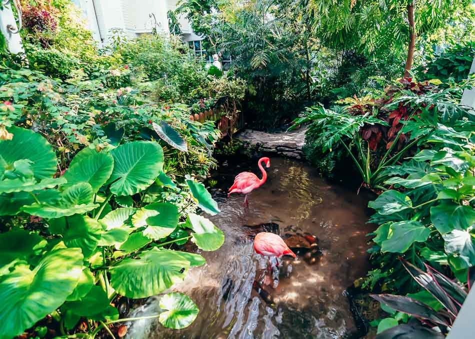 Flamingos bathing at the Key West Butterfly Conservatory in Key West, Florida.