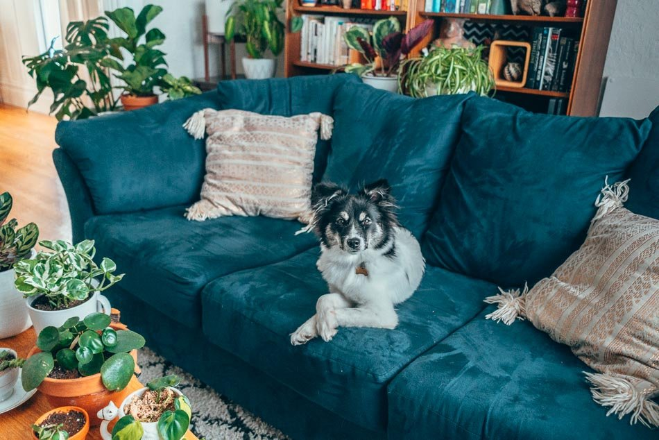 Black and white dog on a blue couch, surrounded by plants.