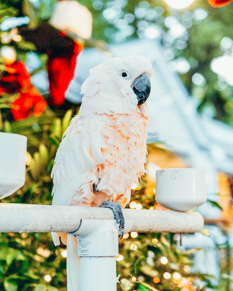 Parrot in Key West, Florida.