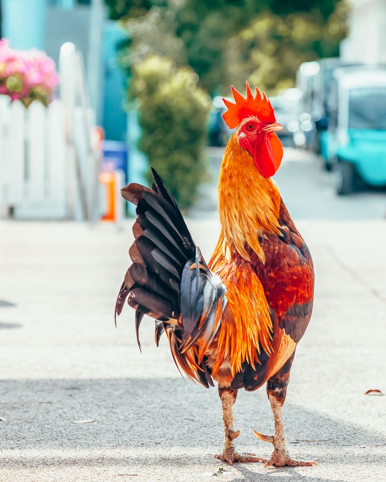 Big Rooster crowing in the streets of Key West, Florida.