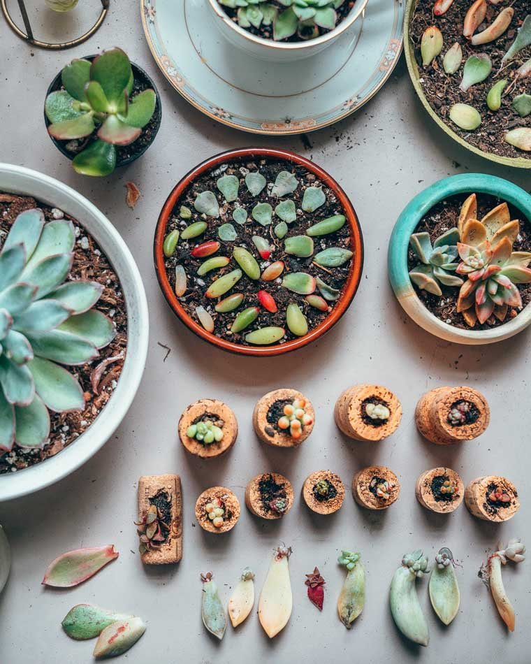 Propogating succulents in wine corks and succulent trays.