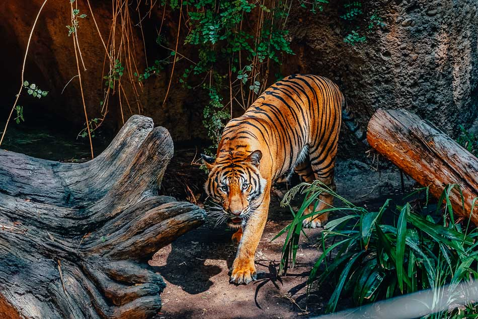 A tiger at the San Diego Zoo in CA.