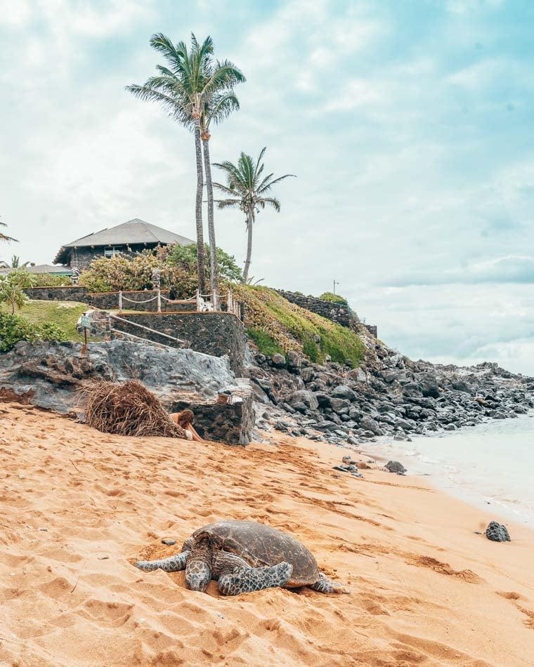 Turtle on the beach in Maui, Hawaii