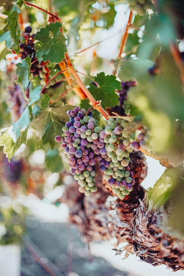 Colorful grapes on a vine at a vineyard in Napa, CA.