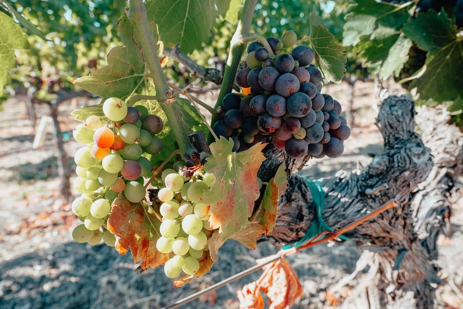 Grapes turning colors during veraison time in the Napa Valley.