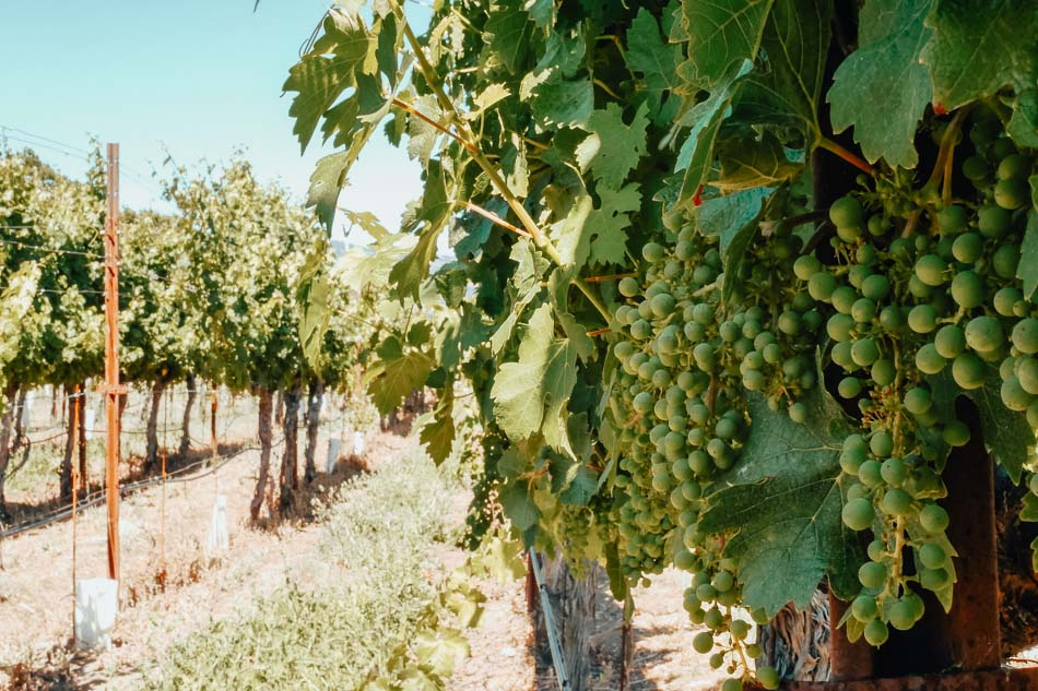 Green grapes on a vine at the Trefethen Family Vineyards in Napa, CA.