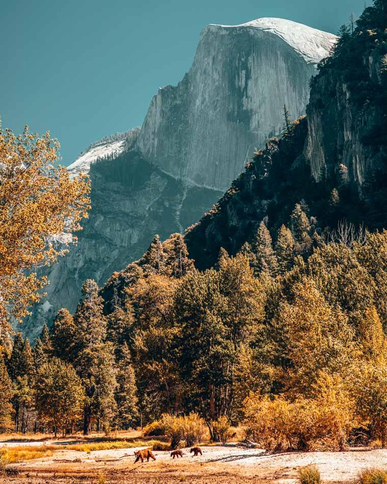Bears at the foot of Half Dome in Yosemite Valley, Yosemite National Park, California.