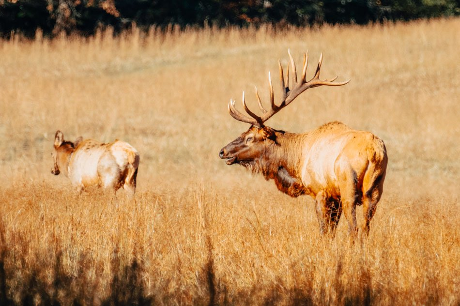 Elk grazing in Cataloochee Valley in Great Smoky Mountains National Park